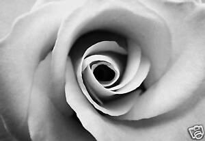 Canvas art floral black and white rose flower artwork ebay image is loading canvas art floral black and white rose flower mightylinksfo Image collections