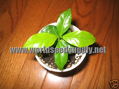 8 COFFEA CATURA beans DWARF ARABICA COFFEE plant seeds!