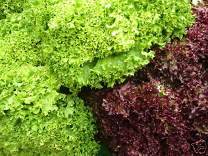 LETTUCE-100-seeds-Salad-Bowl-Mixed-vegetable-garden
