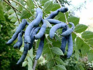 Blue-Sausage-Fruit-Shrub-Decaisnea-fargesii-Seeds