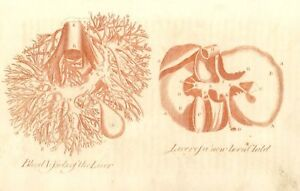 1756-Sepia-Colored-from-Culpeper-039-s-Physician-LIVER