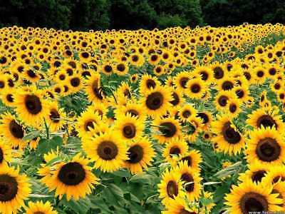 50+ ANNUAL FLOWER GARDEN SEEDS - SUNFLOWER ...