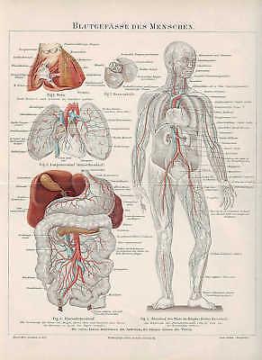 Blutgefässe Blutkreislauf Arterien LITHOGRAPHIE von 1905 Pfortaderkreislauf Herz