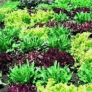 LETTUCE-GOURMET-LOOSELEAF-CUTTING-MIX-1500-SEEDS