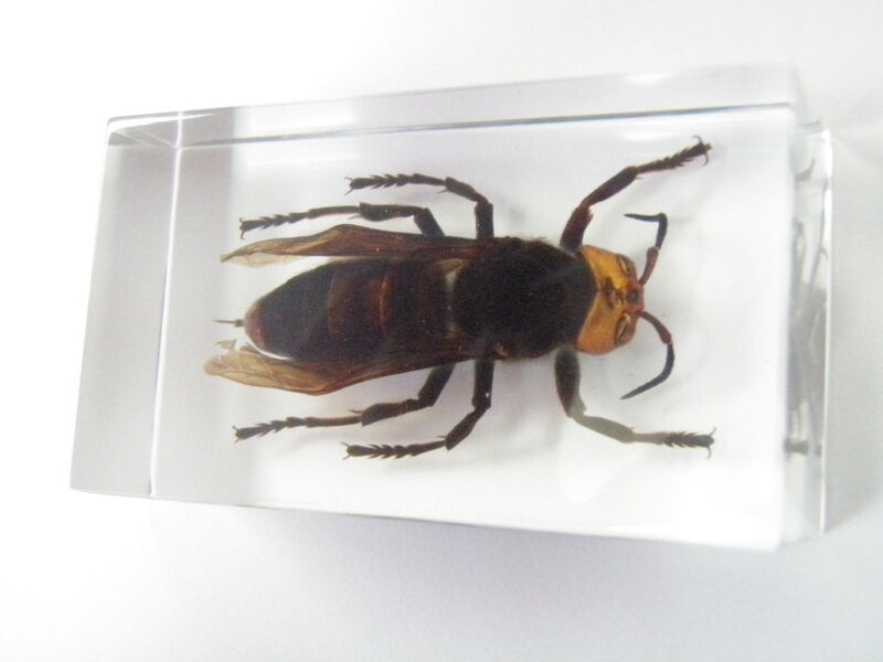 Murder Hornet Vespa Mandarinia Education Insect Specimen Clear Paperweight