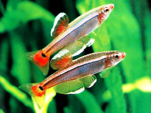 10 X WHITE CLOUD MOUNTAIN MINNOW - TROPICAL FISH