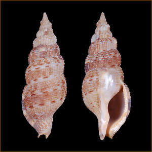 Sea shells Colubraria castanea 67mm #BUC-39
