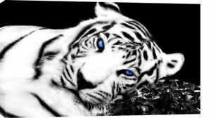 LARGE-TIGER-CANVAS-PICTURE-BLACK-WHITE-BLUE-EYES-36-x20