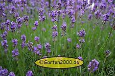 6 schöne Lavendel, Lavendula angustifolia Munstead,