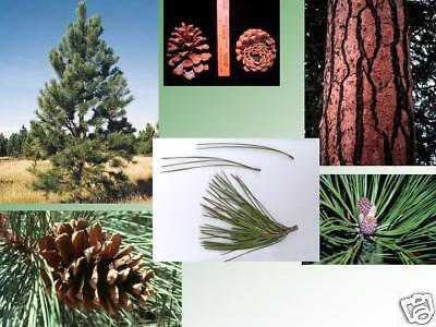 Ponderosa Pine, Pinus ponderosa, Tree Seeds (Fast, ...