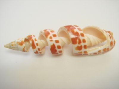 Cut Orange Mitra Maculata Spiral Sea Shell Beach Craft 3 7100