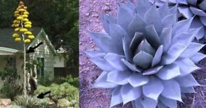 agave parryi schnellw chsige winterharte garten agave ebay. Black Bedroom Furniture Sets. Home Design Ideas