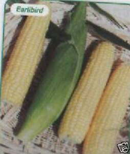 SWEET-CORN-F1-EARLIBIRD-25-SEEDS-EARLY-SUPER-SWEET-FP
