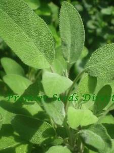HERBS-SAGE-BROAD-LEAVED-150-SEEDS