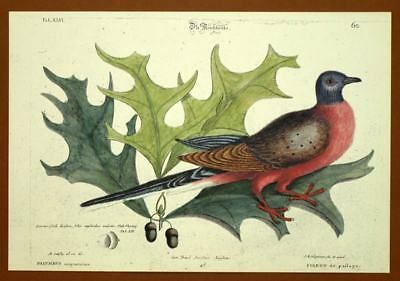 Engraving Ornithology Bird PIGEON TRAVELLER AND OAK