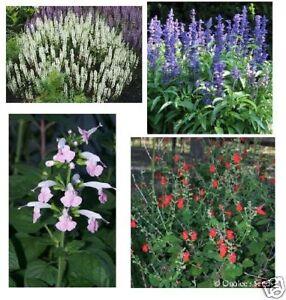 Sage-Salvia-Seeds-Red-Pink-White-amp-Blue-4-packs