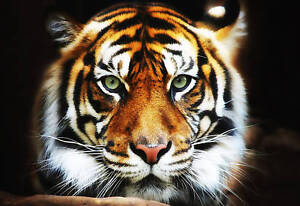 Large-Tiger-Box-Canvas-Art-Print-Wall-Picture-framed-A1