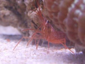 True Peppermint Shrimp Clean up Crew Rid Aiptasia for Reef Marine
