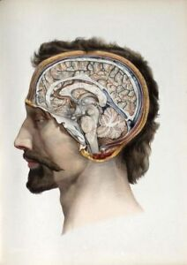 19TH-C-ANTIQUE-MEDICAL-HUMAN-BRAIN-A3-POSTER-REPRINT