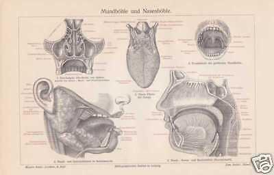 Mundhöhle Nasenhöhle HNO-Heilkunde HOLZSTICH von 1905 Zunge Gaumen