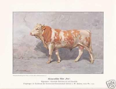 """Hinterwälder Rind Stier """"Pax"""" Farbdruck 1925 Reprint Rinderrassen"""