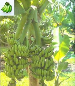 Musa-Double-Mahoi-Banana-plant-fruit-tree-rare