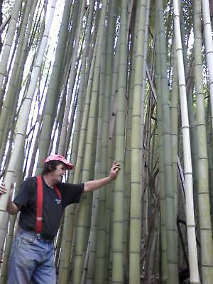 "3 JAPANESE GIANT TIMBER BAMBOO - MADAKE  PLANT RHIZOMES 12""L  on Rummage"