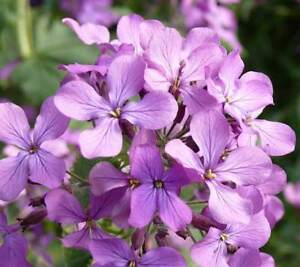 Matthiola Bicornis - 1500 Seeds - Night Scented Stock