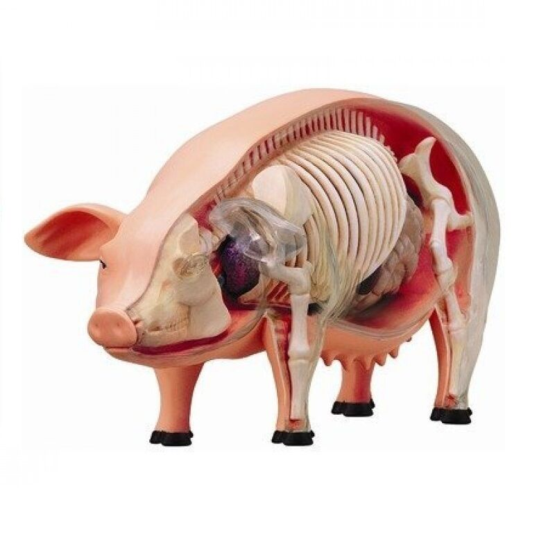 TEDCO 4D VISION Pig Anatomy Model - 26102 Educational Product NEW ...