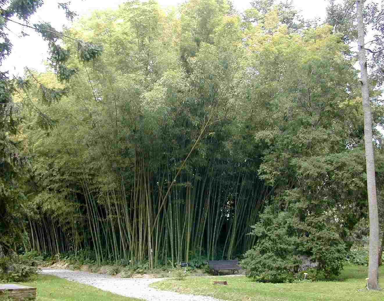 50 2000 samen moso bambus phyllostachys pubescens. Black Bedroom Furniture Sets. Home Design Ideas