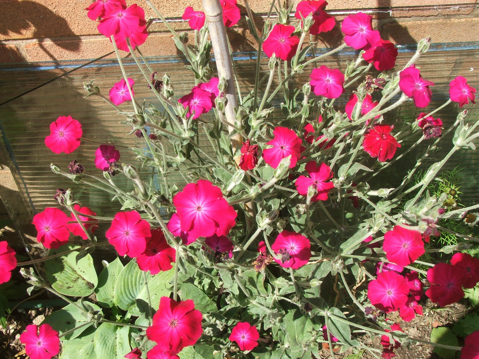 2 purple lychnis hardy perennial cottage garden plants for Hardy plants for the garden