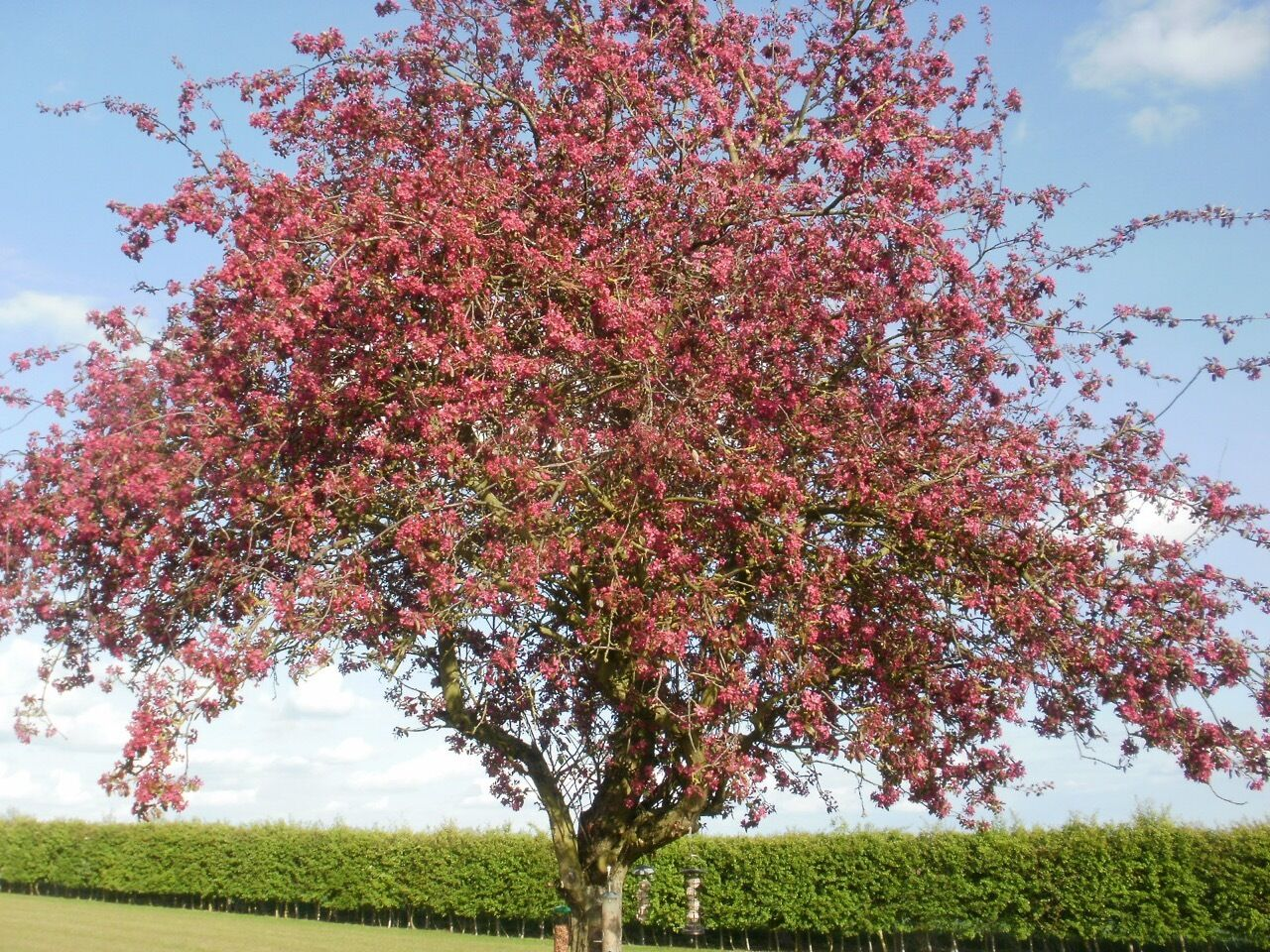 Malus Royalty Purple Leaf Pink Flower Crab Trees 5 6ft Now