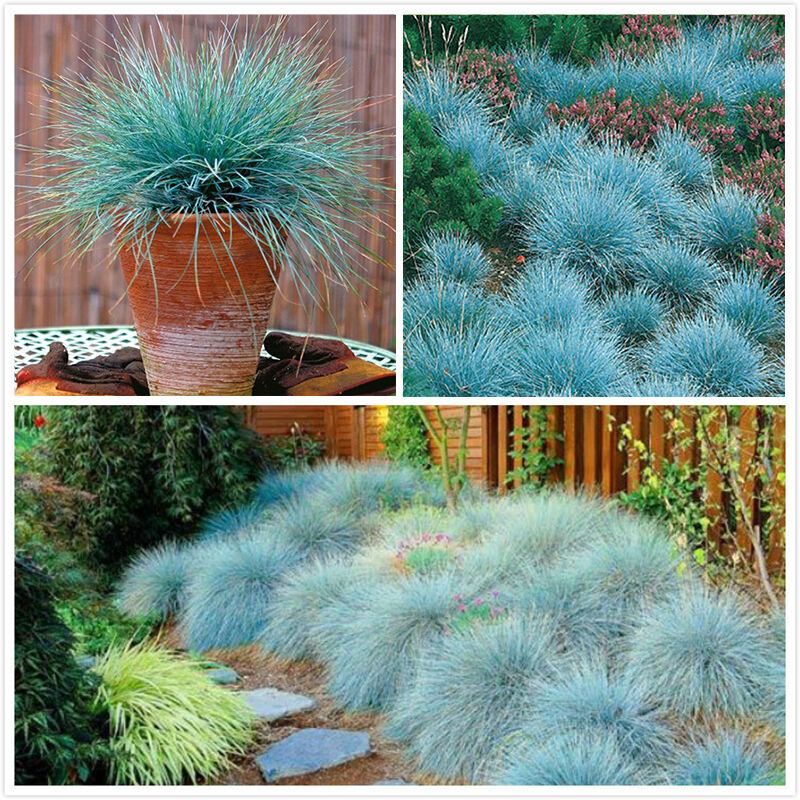 100pcs ornamental grass seeds blue fescue plants perennial for Decorative outdoor grasses
