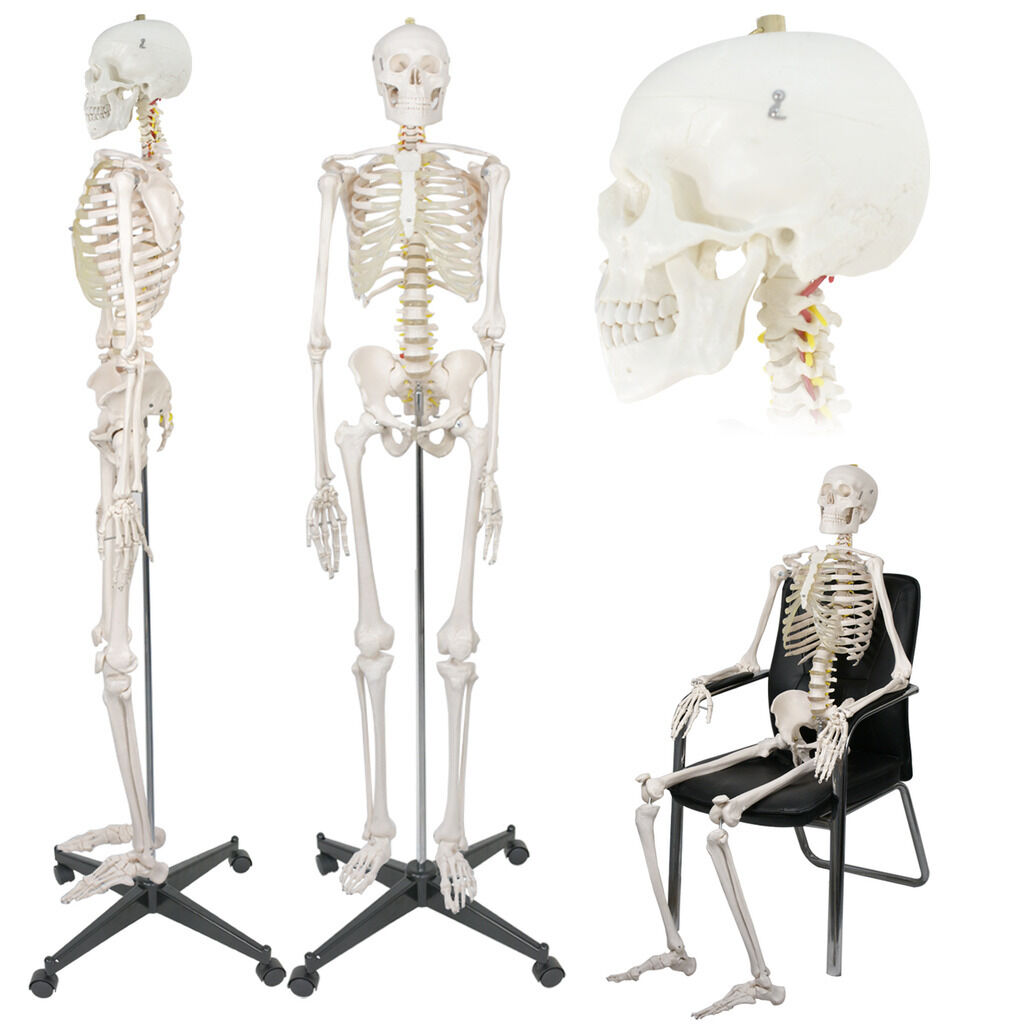Life Size Medical Anatomical Human Skeleton Model With Rolling Stand