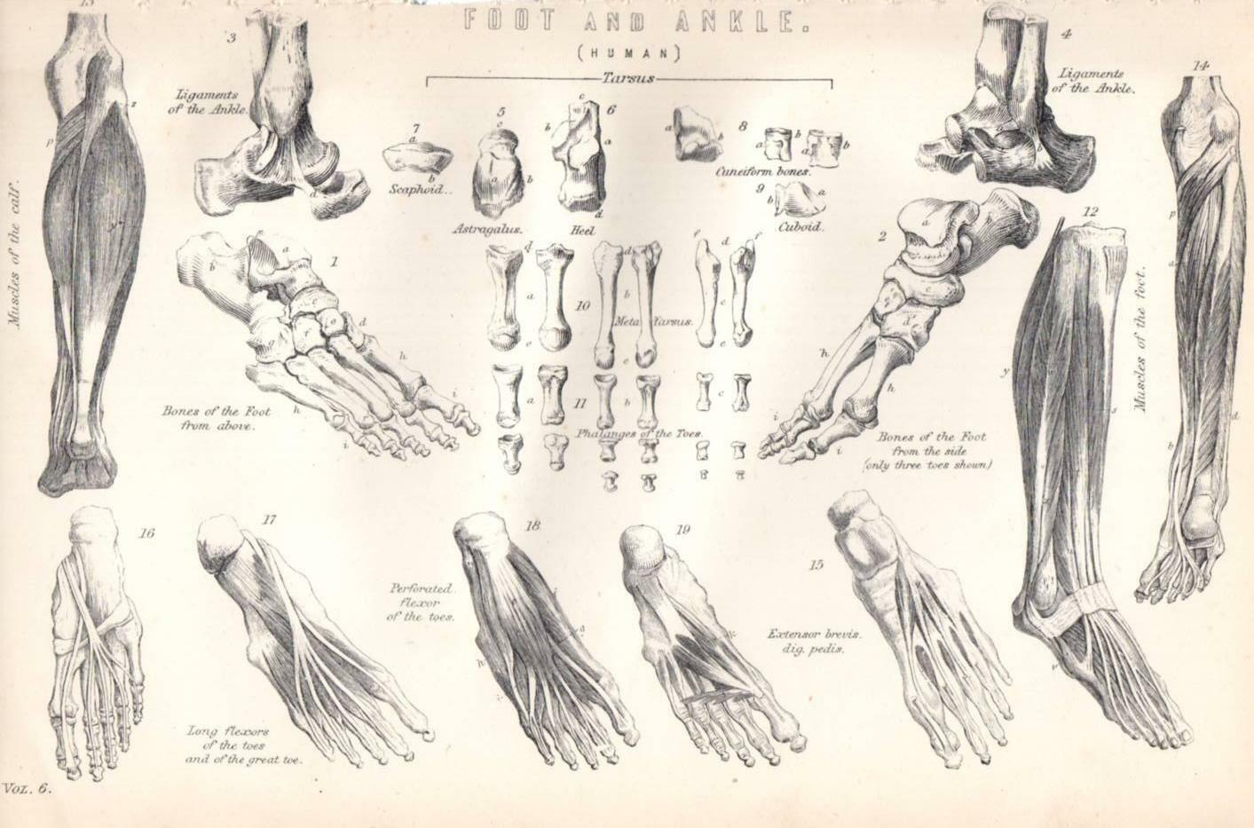 1880 PRINT ~ Human Anatomy ~ Foot And Ankle ~Bones Muscles Phalanges ...