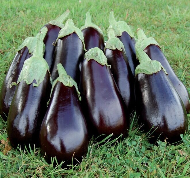 how to grow eggplant from seed