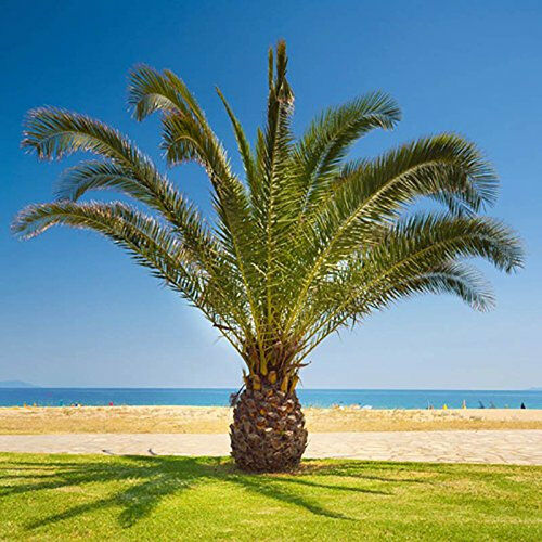 Mature Palm Tree