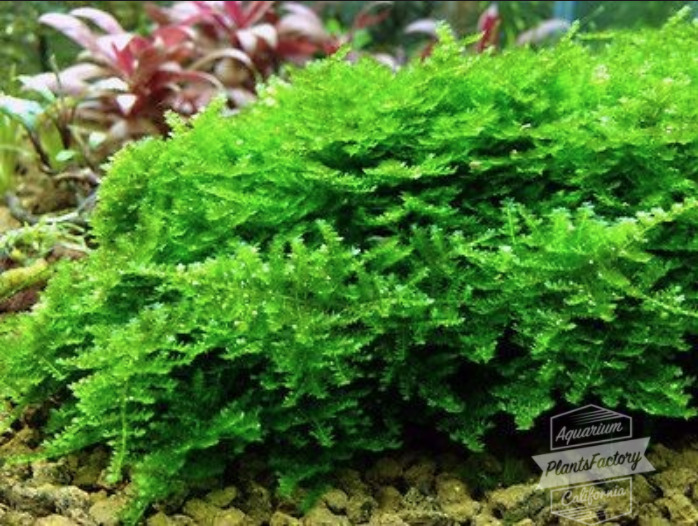 1 of 4only 0 available - Christmas Moss