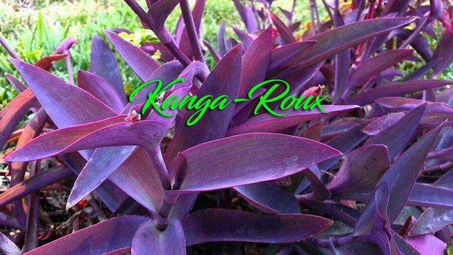 10 Purple Heart Wandering Jew T Pallida Cuttings Ground Cover Hanging Bask Plant 1 Of 10only 2 Available