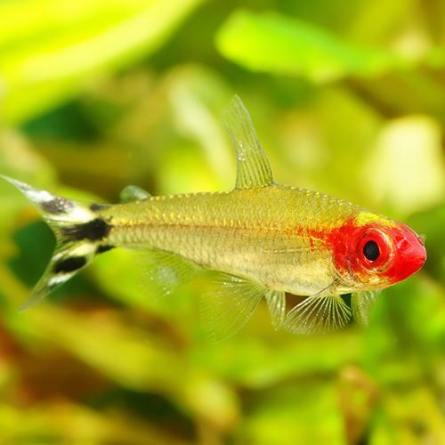 live tropical aquarium fish for sale rummynose tetra