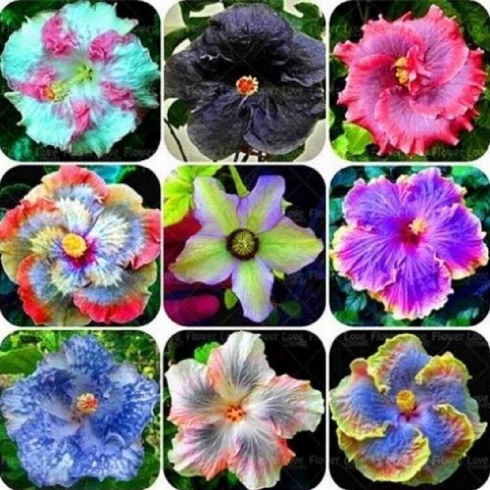 100pcs Rare Mixed Color Giant Hibiscus Exotic Coral Flowers Seeds