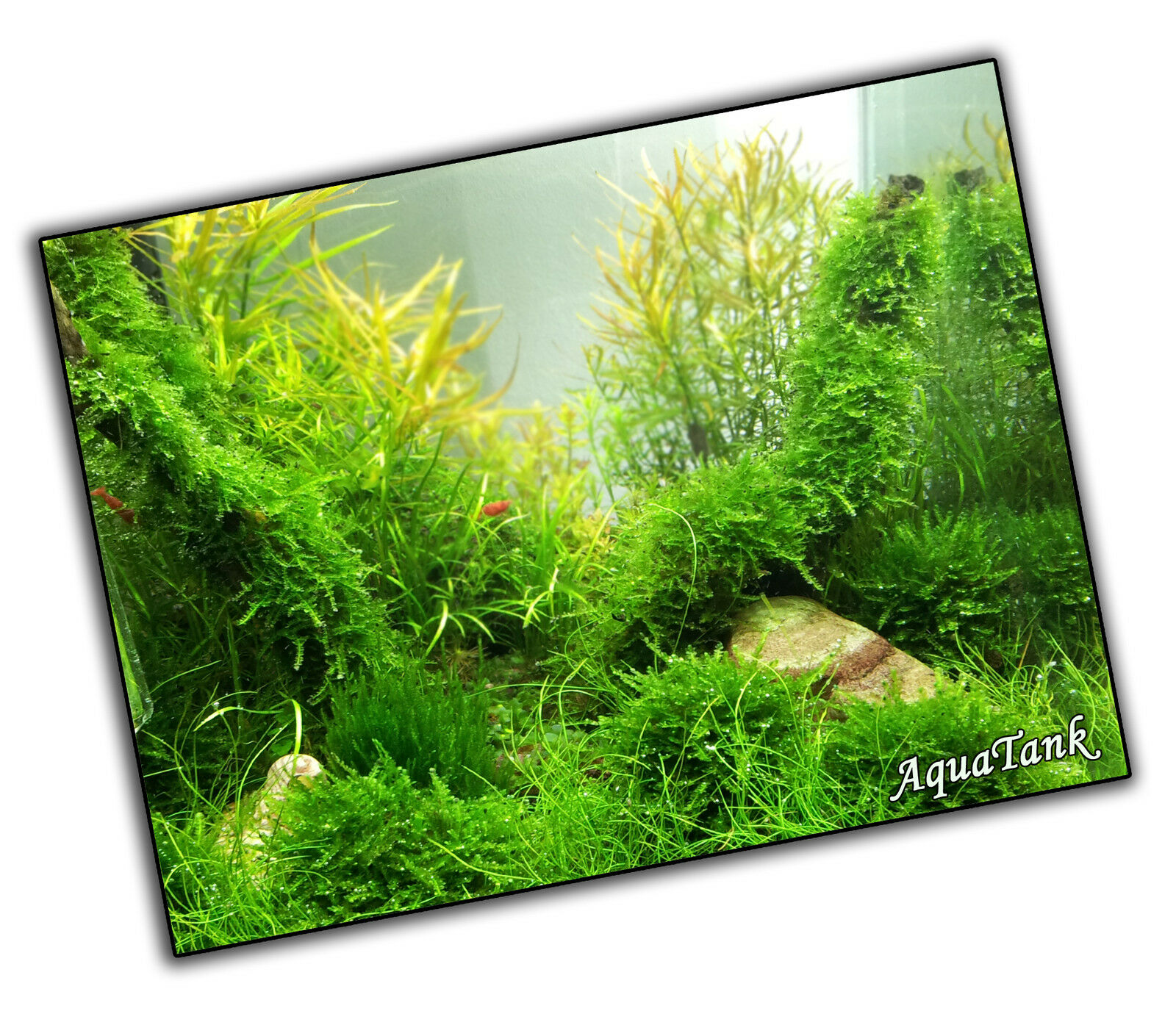 Mousse - Fissidens, Paon et plus - Vie Aquatique Aquarium Tropical Plantes