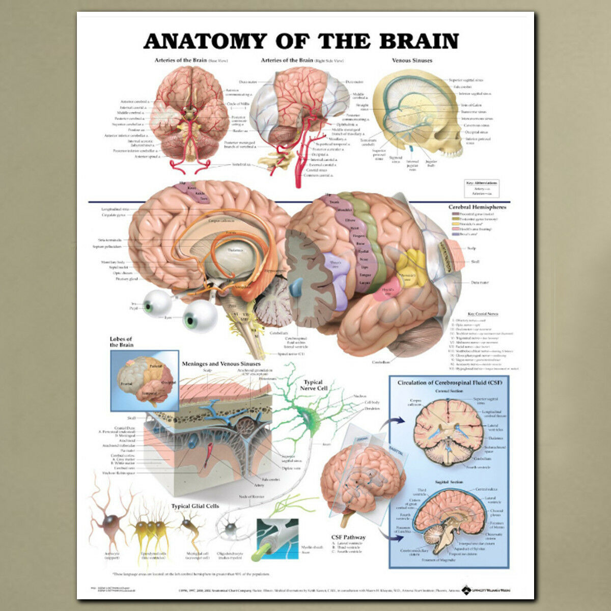 ANATOMY OF THE Brain Posters Anatomical Silk Cloth Chart Human ...