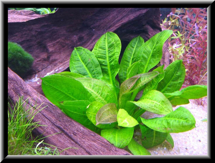 echinodorus mini lot de 3 plantes avant plan nano aquarium facile