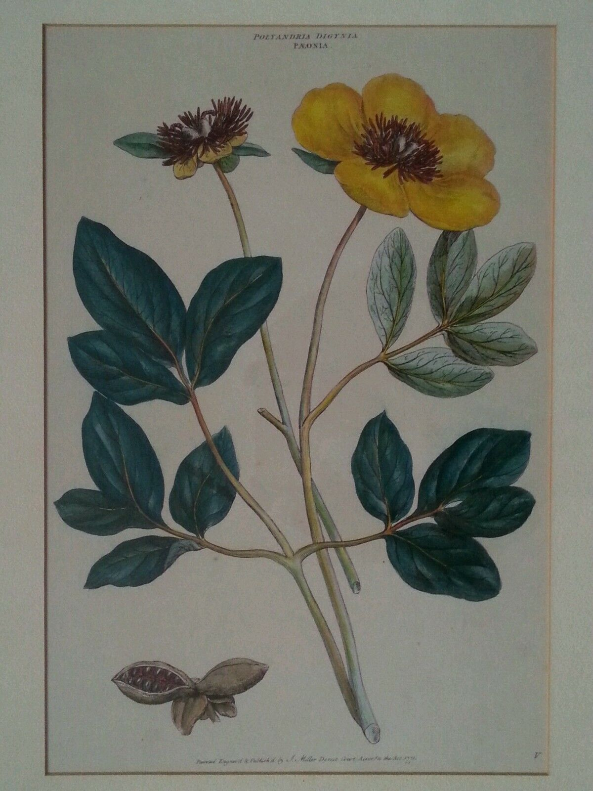 """Antique botanical lithograph by J. Miller """"Polyandra Digynia Paeonia """""""