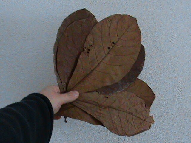 25 LARGE ALMOND LEAVES - For apistogramma, betta, discus, shrimps etc. CATAPPA