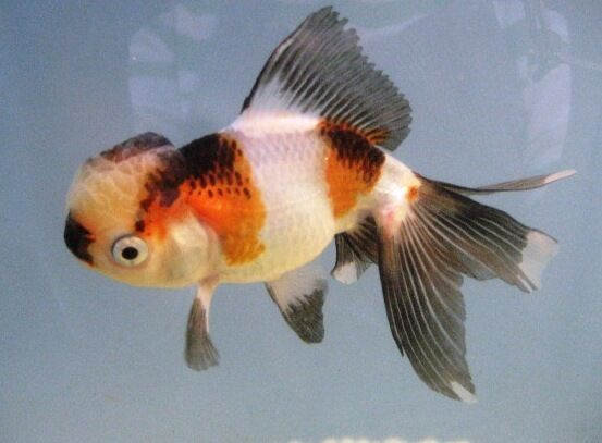 Live Fancy Chinese Goldfish -5