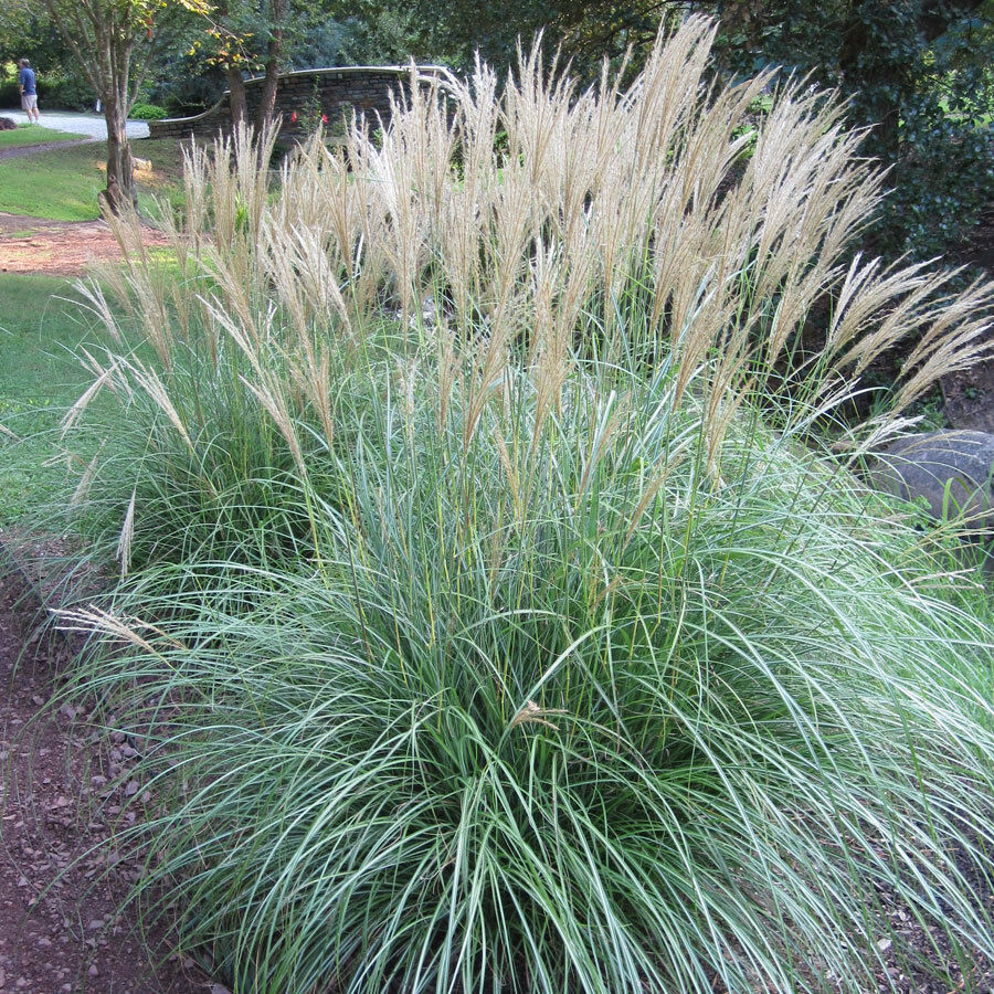Miscanthus sinensis adagio grass architectural container for Ornamental grass in containers for privacy