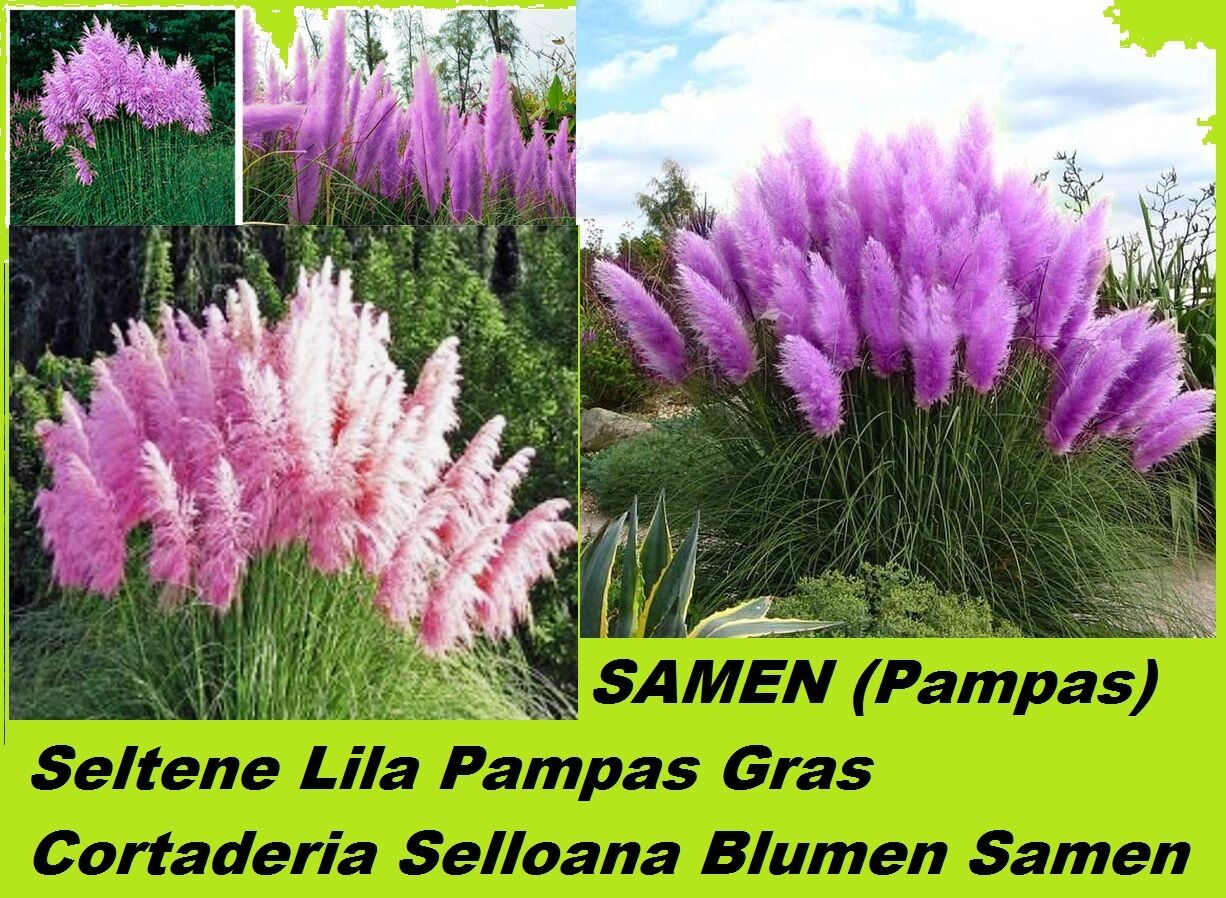 25x lila pampas gras garten pflanze blumen cortaderia. Black Bedroom Furniture Sets. Home Design Ideas