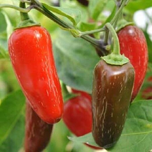 how to grow jalapenos from seed